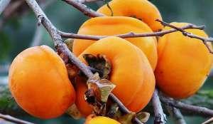 柿子叶都有哪些药用功效
