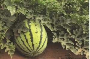 哺乳期吃西瓜的家常做法