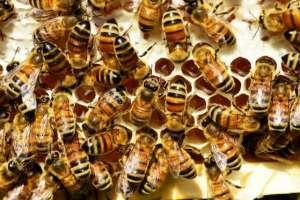 服用蜂胶的6大注意事项