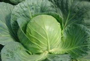 圆白菜有什么营养价值