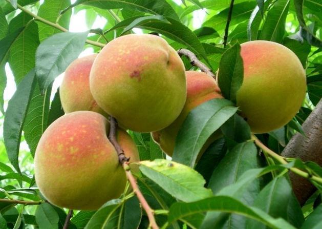 桃子的功效和作用