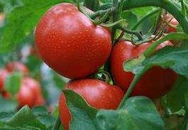 怎么吃西红柿可以减肥
