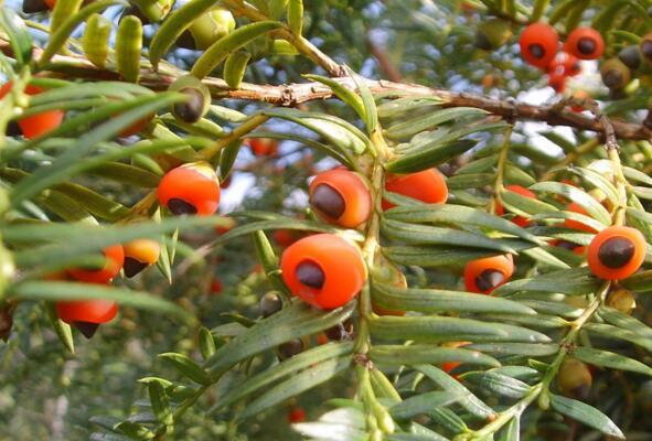 红豆杉的药用价值