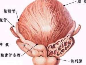 前列腺具有哪些功能