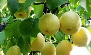 术后常吃梨