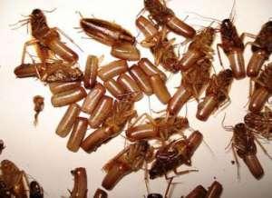 蟑螂的人体的危害
